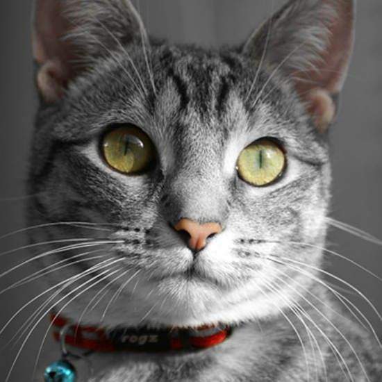 Kattenhalsband AlleyCat Rood